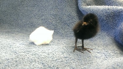 Black Rail chick