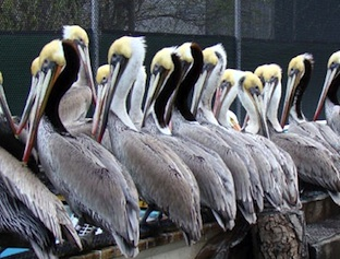 pelicans-line-aviary-312px