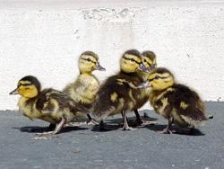 gutter-ducklings-good-250px