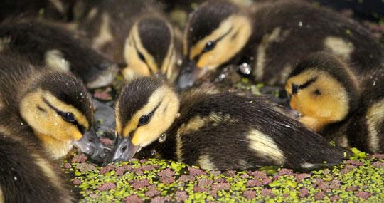 Ducklings-540px