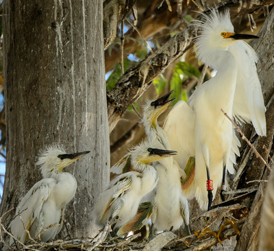Photo of Snowy Egret Family